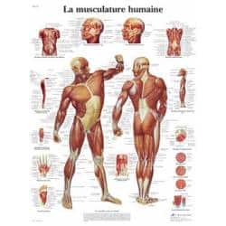 poster-la-musculature-humaine